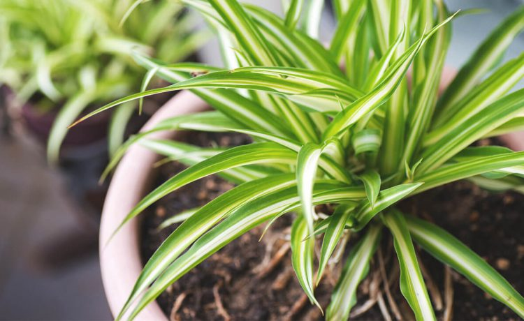 INDOOR PLANTS THAT PURIFY THE AIR